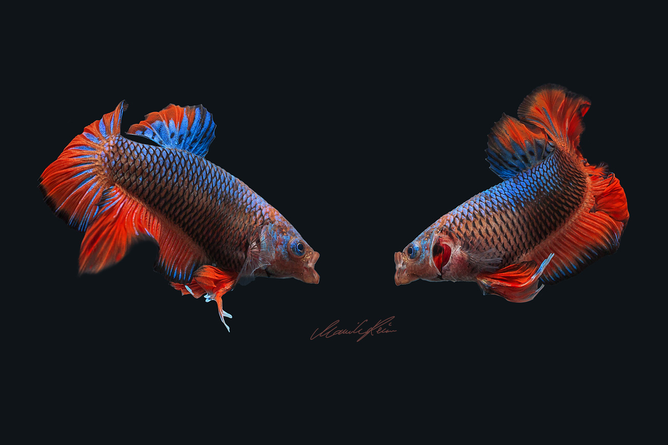 Betta Fight